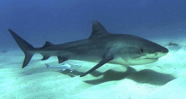 В Бразилии тигровая акула лишила