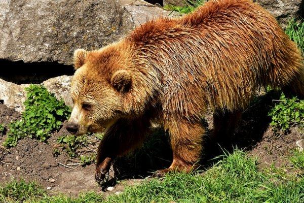 В красноярском заповеднике «Столбы» медведи бродят по туристическим тропам