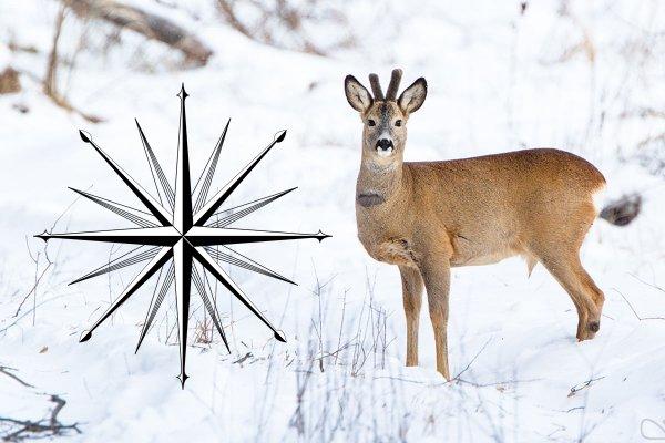 Сезон охоты: Как выслеживать косулю осенью и зимой